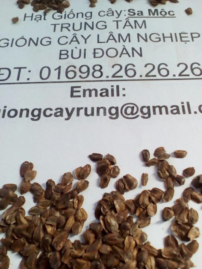 hạt giống cây sa mộc chất lượng cao
