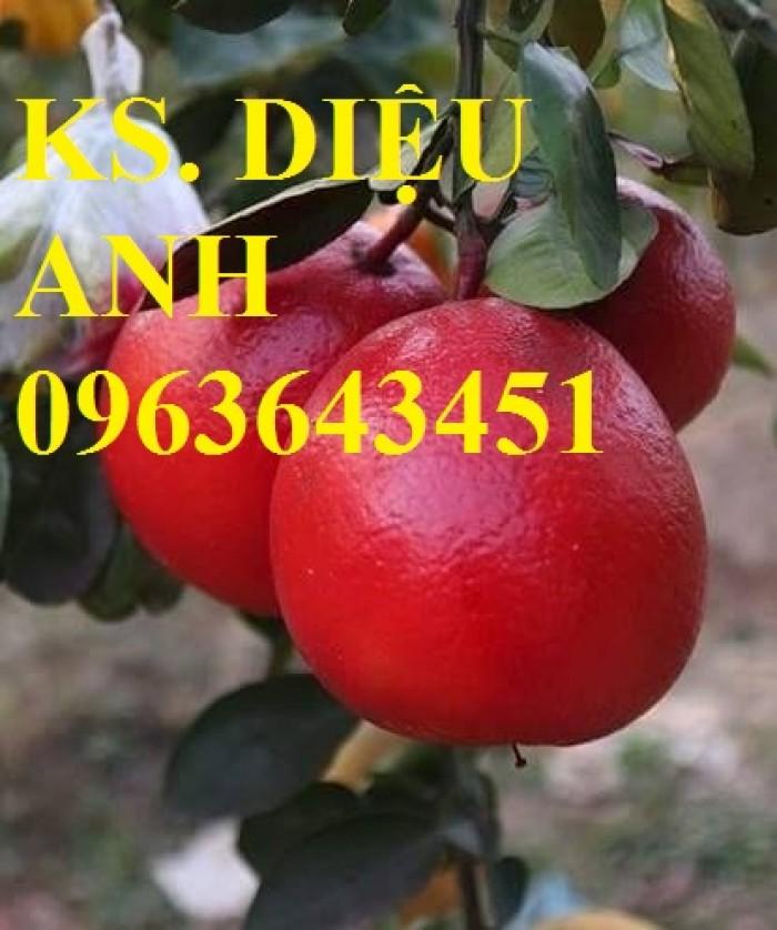 Bán cây giống bưởi đỏ luận văn chuẩn giống Thanh hóa, uy tín, chất lượng cao.