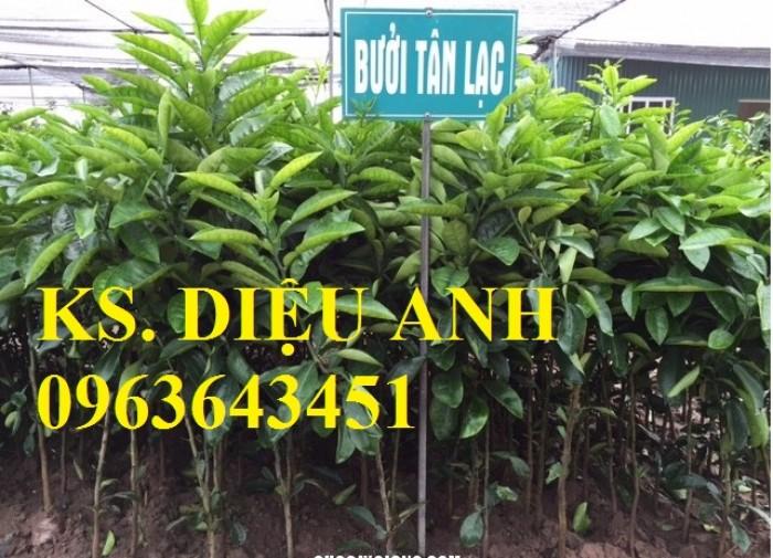 Bán cây giống bưởi đỏ Tân Lạc chuẩn f1, số lượng lớn, chất lượng cao.