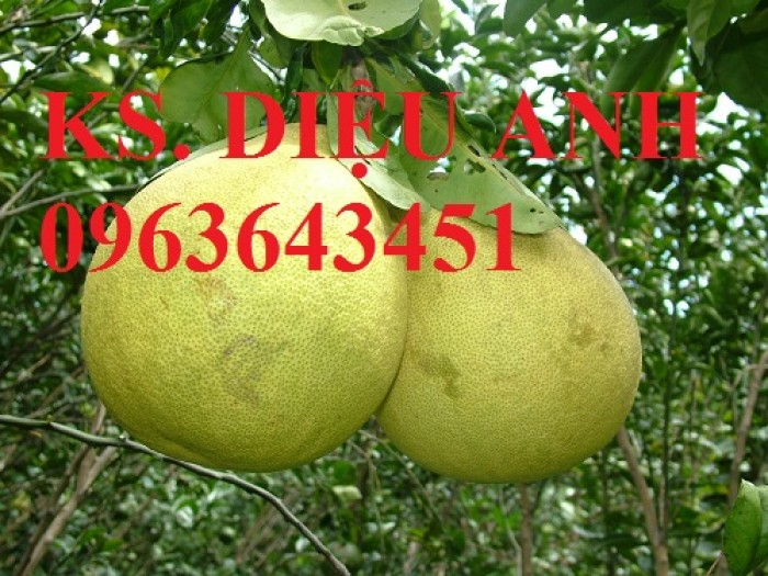 Bán cây giống bưởi đường Quế Dương chuẩn giống, uy tín, chất lượng, giao cây toàn quốc