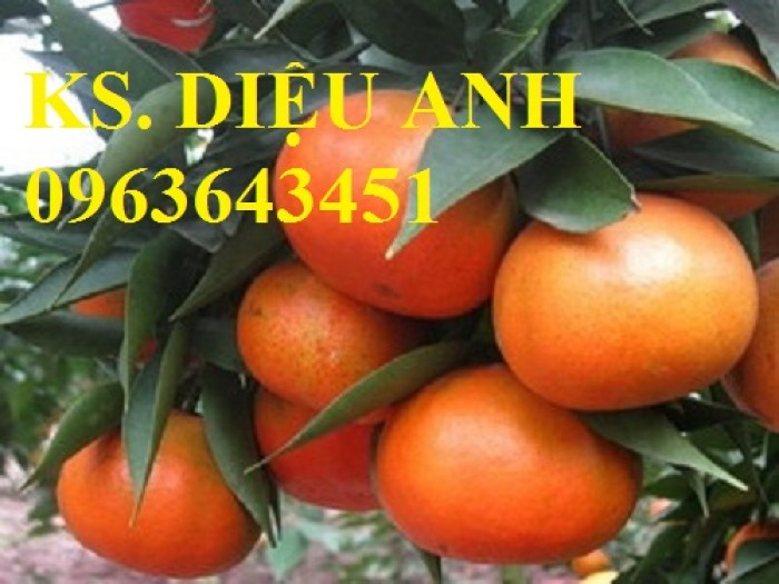Cây giống cam đường canh, cam canh chuẩn giống, uy tín, chất lượng
