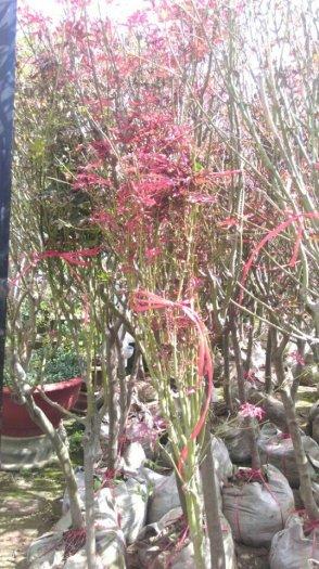 Cây phong lá đỏ lớn