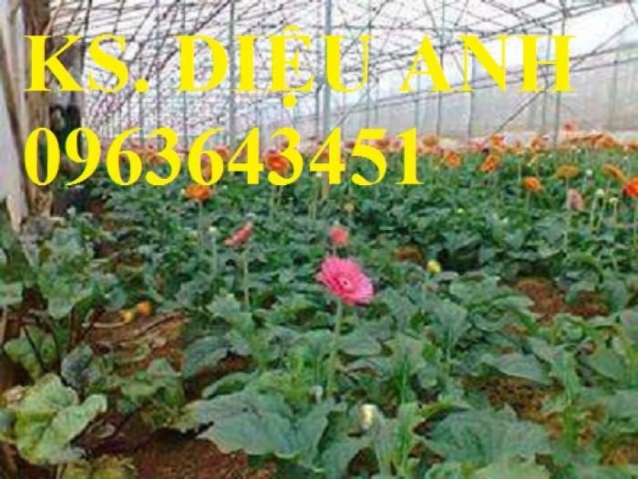 Bán cây hoa đồng tiền nuôi cấy mô đủ màu, số lượng lớn, giao hàng toàn quốc