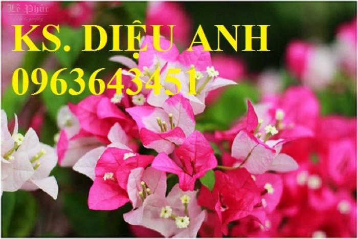 Cây hoa giấy đủ màu, số lượng lớn, hàng đẹp, đảm bảo, giao hàng toàn quốc