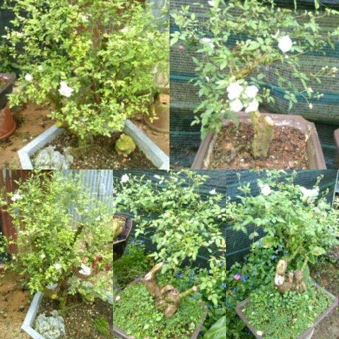 Hồng bạch trà bonsai và tree rose