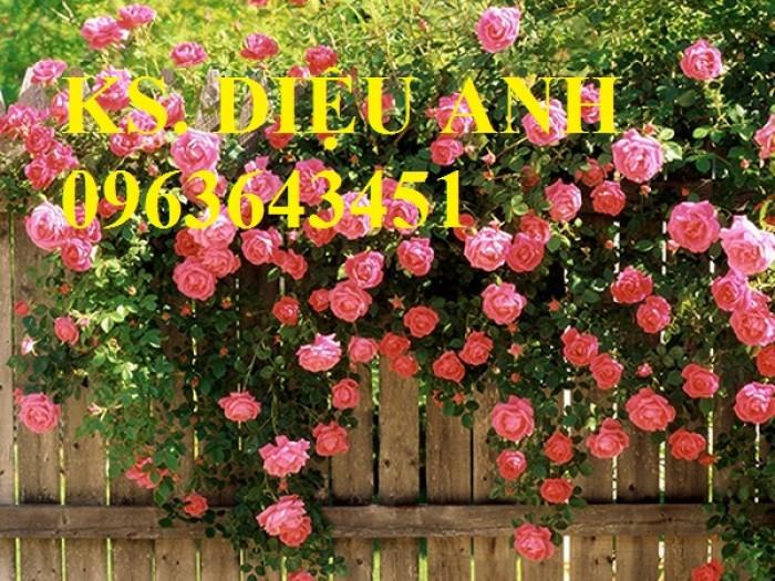 Bán cây giống, cây thương phẩm hoa đồng tiền, hoa giấy, hoa hồng leo, cây thần kì.