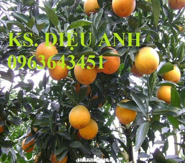 Bán cây giống cam V2 chuẩn F1, số lượng lớn, giao cây toàn quốc
