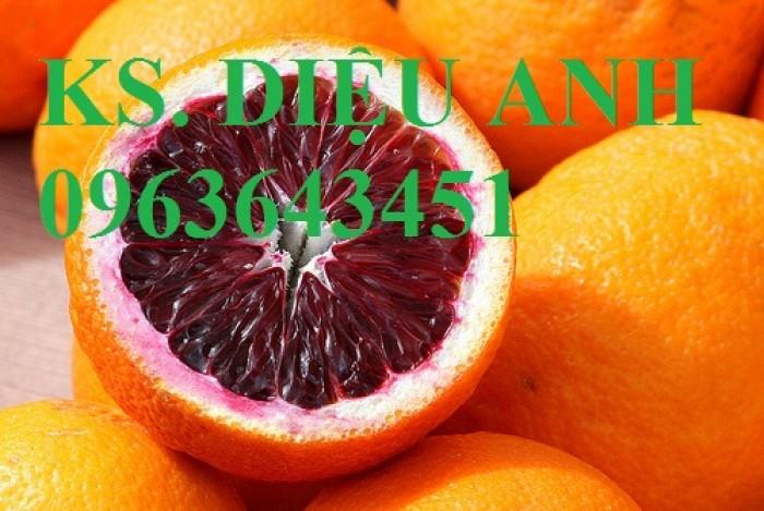 Bán cây giống cam máu nhập khẩu Úc chất lượng cao, giao cây toàn quốc