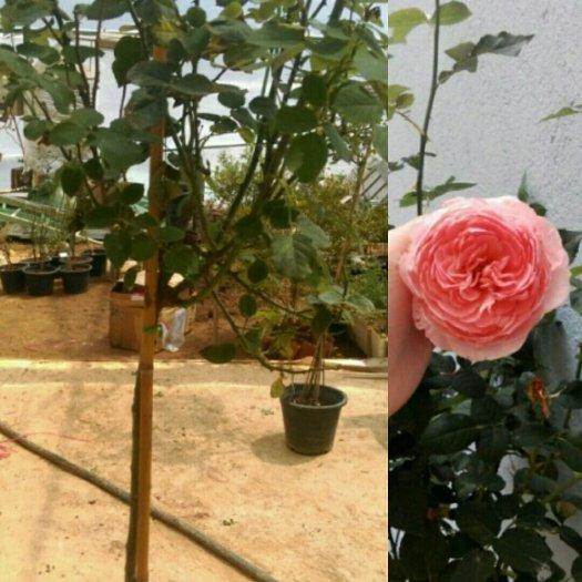 Hồng thân gỗ Lilac