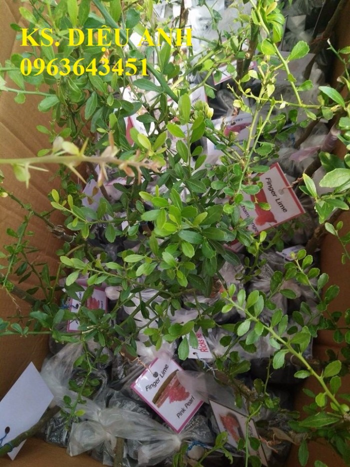 Cây giống chanh ngón tay nhập khẩu chất lượng cao, giao cây toàn quốc.