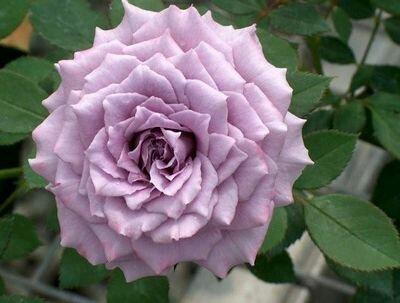 Hồng thân gỗ Lavender crystal