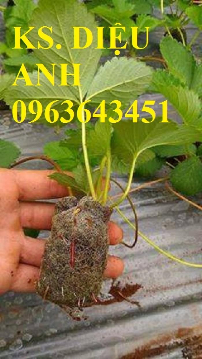 Cây giống dâu tây Nhật, dâu tây Mỹ nuôi cấy mô số lượng lớn, chất lượng cao, giao cây toàn quốc