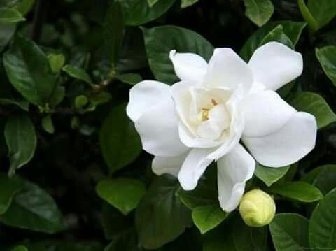 Hoa bạch thiên hương