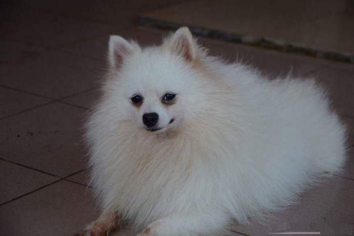 Nhận phối giống chó phốc sóc (Pomeranian)0