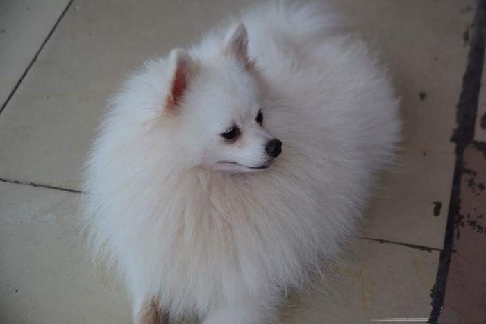Nhận phối giống chó phốc sóc (Pomeranian)1