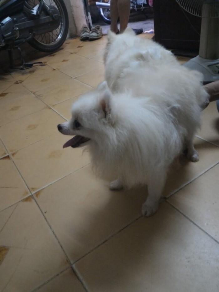 Nhận phối giống chó phốc sóc (Pomeranian)2