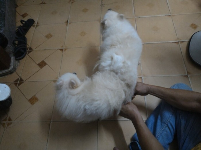 Nhận phối giống chó phốc sóc (Pomeranian)3