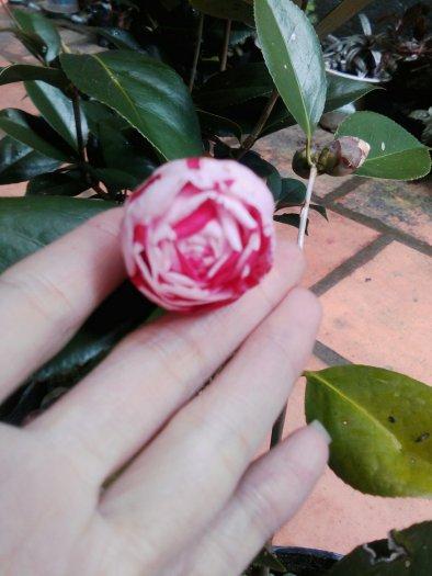 Hoa trà mi hồng sọc