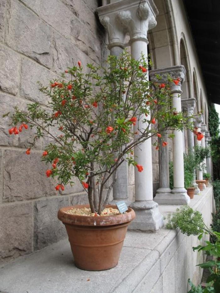 Cây Lựu Ai Cập