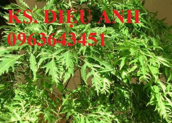 Thông báo về việc triển khai dự án liên kết trồng và thu mua sản phẩm cây đinh lăng.