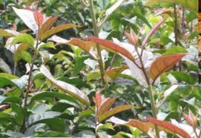 Bán cây giống xạ đen, giống cây xạ đen và sản phẩm xạ đen chất lượng cao