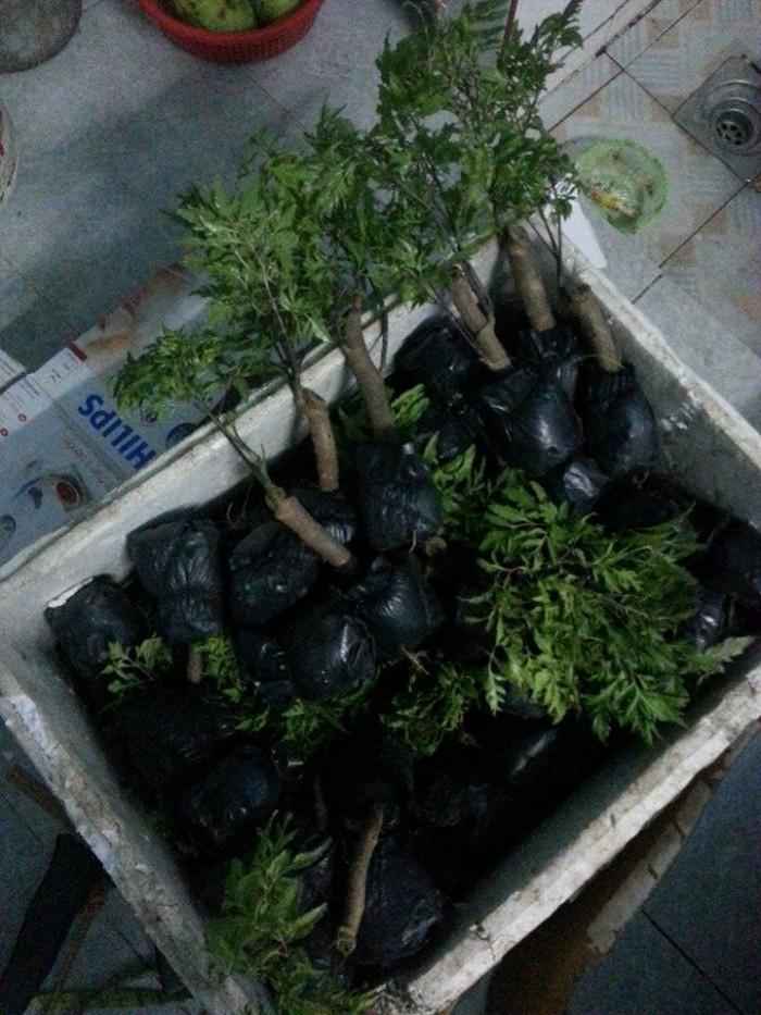 Bán Cây giống Đinh Lăng, hom giống Cây Đinh Lăng và sản phẩm Cây Đinh Lăng: Rễ, Thân, Cành, Lá, Củ chất lượng cao