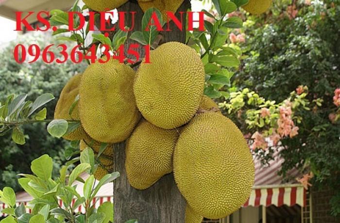 Bán cây giống mít ruột đỏ Thái chuẩn giống,chất lượng,giao cây toàn quốc.