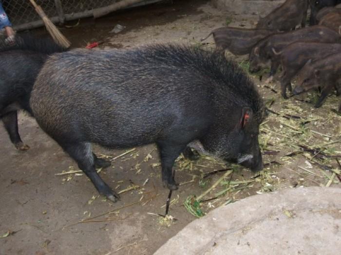 Bán Thịt Lợn Mán | Thịt Lợn Cắp Nách Tại Hà Nội