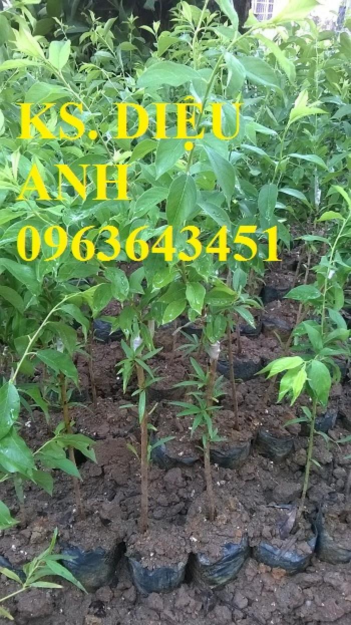 Cây giống mận hậu, mận tam hoa chuẩn giống, chất lượng, giao cây toàn quốc.
