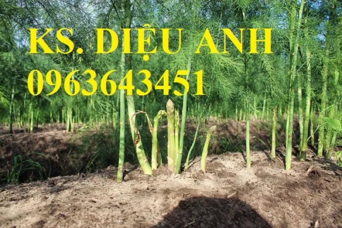 Bán cây giống, hạt giống măng tây xanh, măng tây tím chuẩn giống, chất lượng, giao hàng toàn quốc