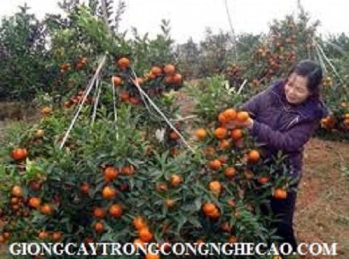 Cây giống cam canh chuẩn F1, số lượng lớn, giao cây toàn quốc.