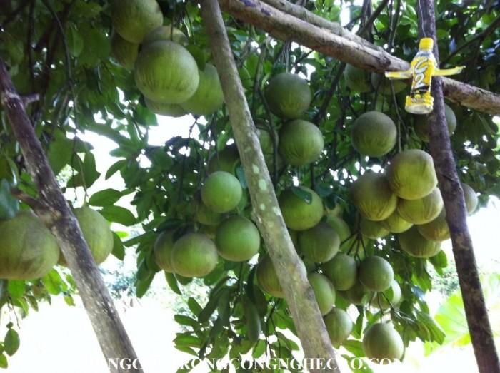 Bán cây giống bưởi đỏ Tân Lạc chuẩn giống, chất lượng cao, số lượng lớn