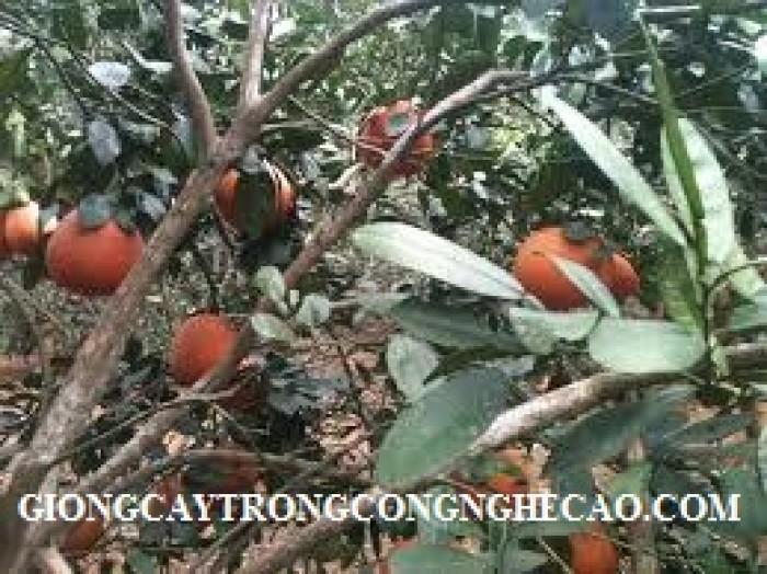 Chuyên cây giống bưởi đỏ Luận văn chuẩn giống, chất lượng cao