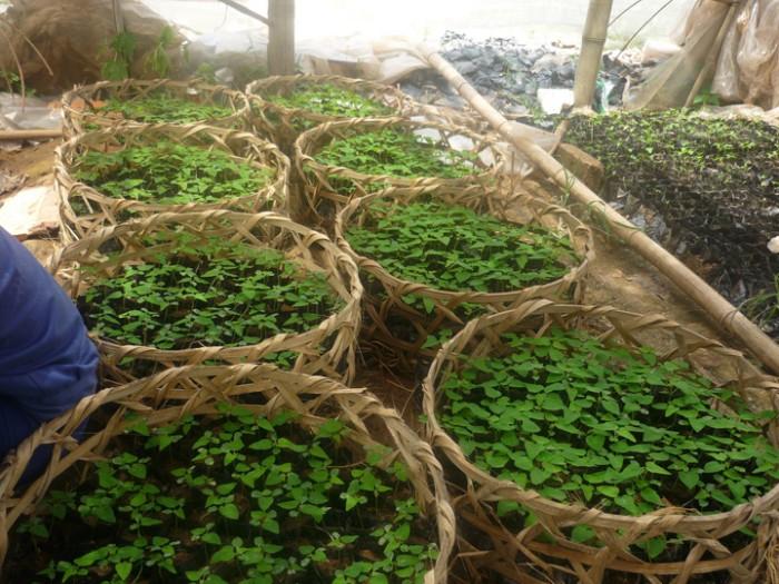 Chuyên cây giống, hạt giống đu đủ Đài Loan chuẩn giống, số lượng lớn