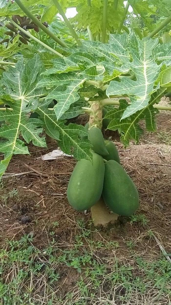Cây giống, hạt giống đu đủ lùn cao sản Thái lan chuẩn giống, số lượng lớn