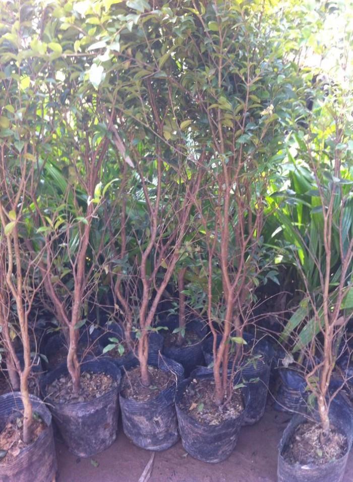 Cây giống nho thân gỗ nhập khẩu chất lượng cao, giao cây toàn quốc