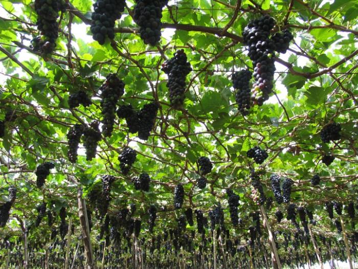 Tin đăng có nội dung bị trùng lặp với tin đã đăng của Quý khách - Cây giống nho Pháp chuẩn giống, chất lượng cao, giao cây toàn quốc