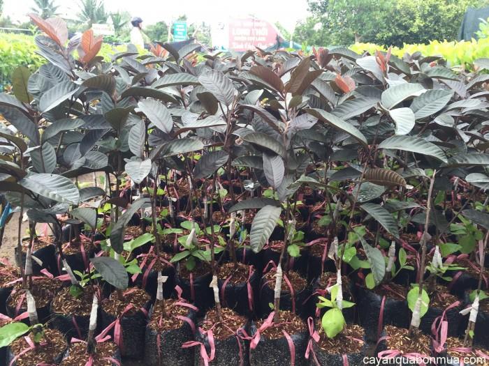Cây giống ổi tím Malaysia chuẩn giống, chất lượng cao