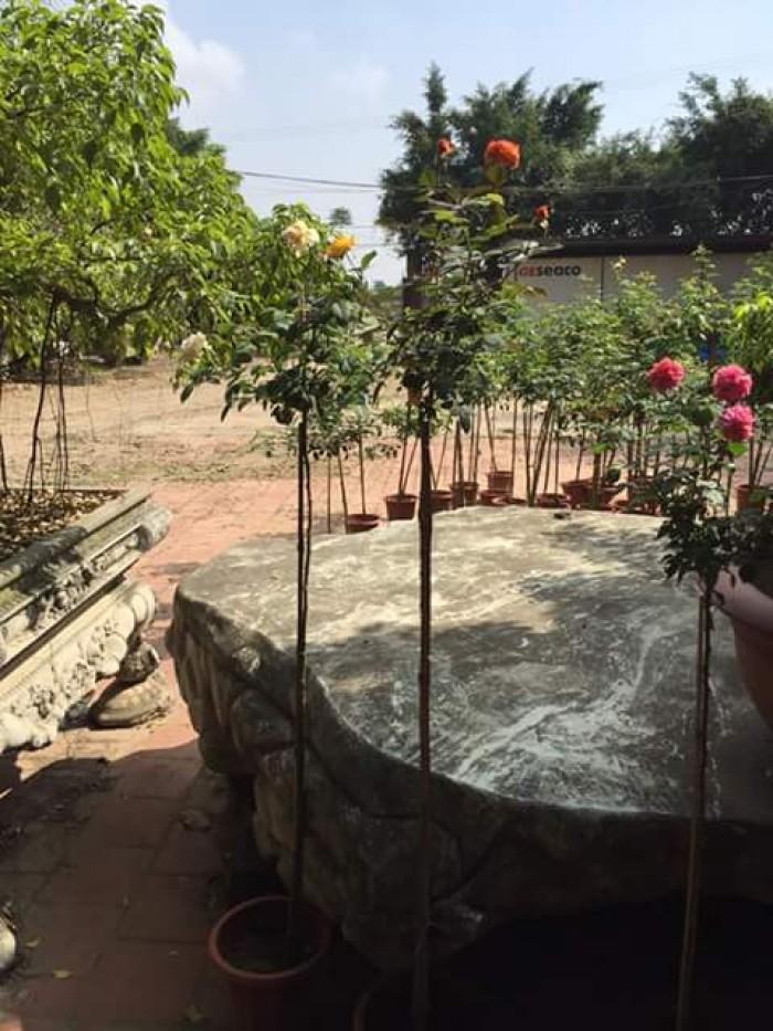 Hoa hồng thân gỗ giá rẻ ( Hồng ngoại ghép Việt )