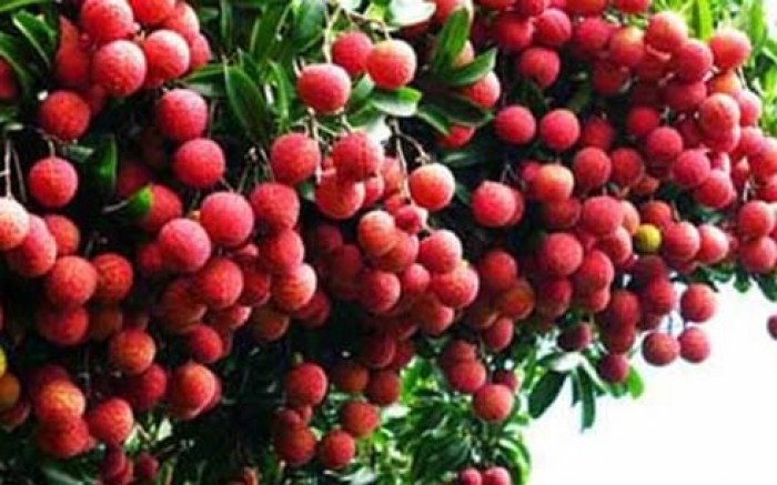Cây giống vải thiều số lượng lớn, chất lượng cao, giao cây toàn quốc