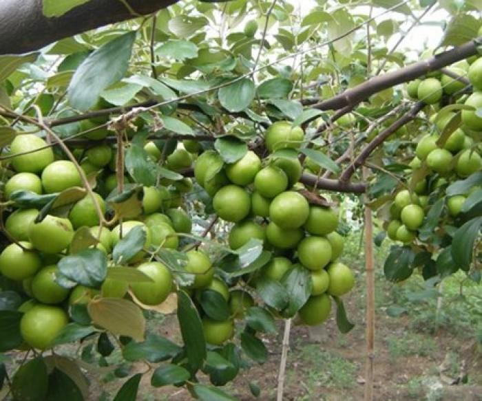 Chuyên cây giống táo Đài Loan chuẩn giống, chất lượng cao, giao cây toàn quốc