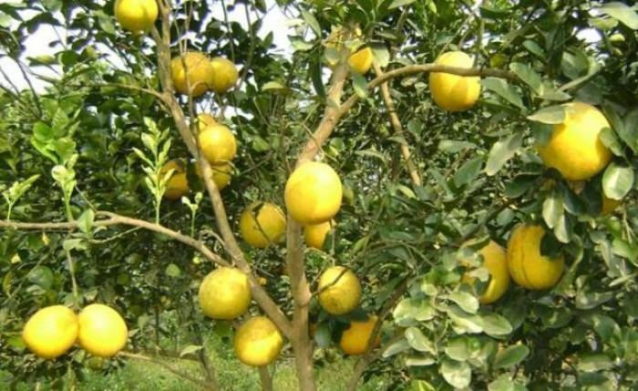 Chuyên cây giống táo đào vàng chuẩn giống, chất lượng cao, giao cây toàn quốc