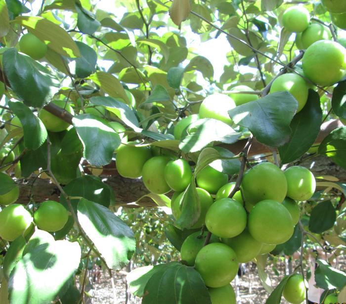 Cây giống táo Thái Lan chuẩn giống, chất lượng cao, giao cây toàn quốc