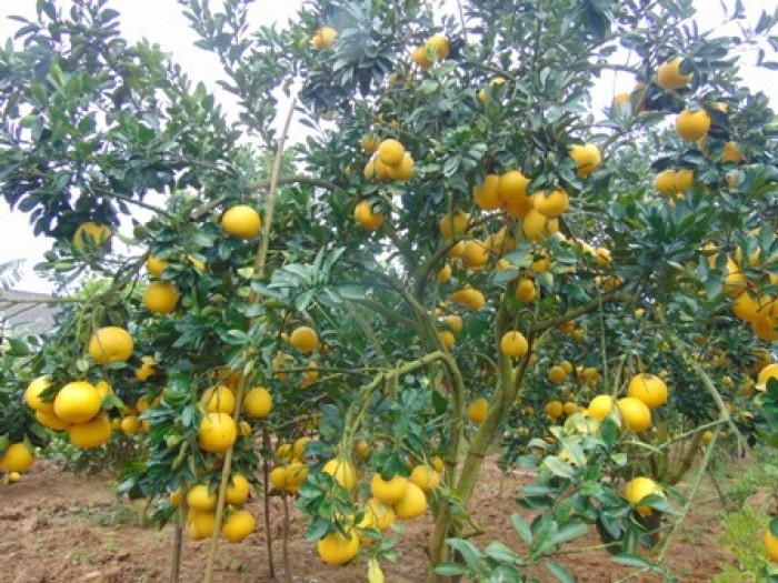 Chuyên cây giống bưởi diễn chuẩn F1, số lượng lớn, chất lượng cao