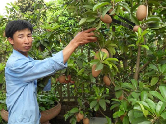 Chuyên cây giống hồng xiêm xoài số lượng lớn,chất lượng cao