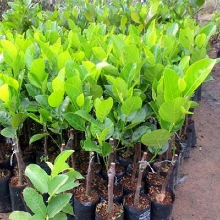 Bán cây giống mít ruột đỏ chuẩn giống, chất lượng cao, giao cây toàn quốc