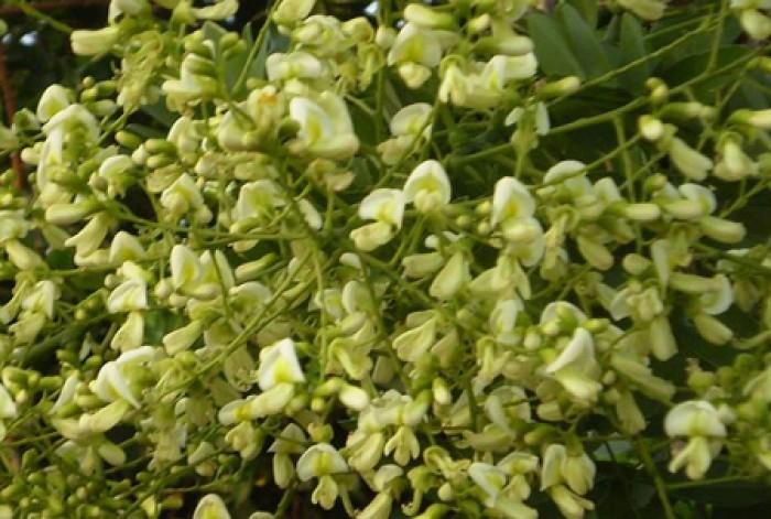 Chuyên cung cấp Giống cây Hoa Hòe và sản phẩm Nụ Cây Hoa Hòe chất lượng cao