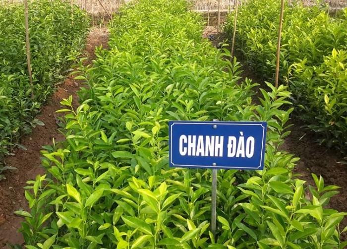 Cây giống chanh đào chuẩn giống, chất lượng cao, giao cây toàn quốc