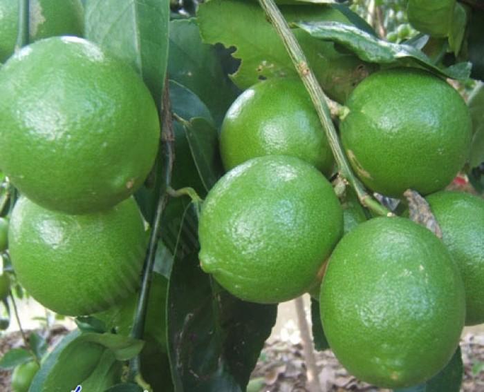 Cây giống chanh tứ quý chuẩn giống, chất lượng cao, giao cây toàn quốc