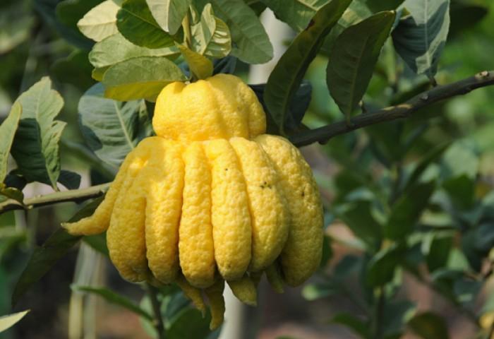 Cây giống phật thủ chuẩn giống, chất lượng cao, giao cây toàn quốc